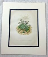 1877 Antique Botanical Print Mountain Forget Me Not Victorian Chromolithograph