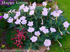 DEVIL'S TRUMPET - 50 seeds - White - Datura  - Annual  flower