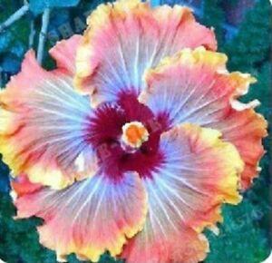 20 Orange Blue Hibiscus Seeds Perennial Seed Bloom Flower Flowers  74 US SELLER