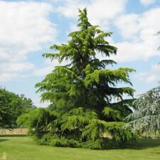 Deodar Cedar, Himalayan Cedar, Deodar (Cedrus deodara) 15 seeds