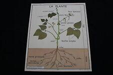 R204 Affiche scolaire papier Rossignol 1 PLANTE EN GENERAL 2 RACINES 90*75 cm