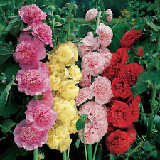 Flower Seed - HOLLYHOCK - Alcea Rosea - Double Mixed Flower - Pack of 30 Seeds
