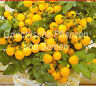 🔥 Balkontomate gelb 10 Samen  Zimmer-Tomate Topf-Tomaten für Balkon alte Sorte