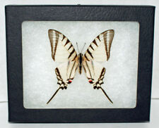 Real Framed Butterfly, Eurytides Agesilaus Autosilaus in Riker Mount