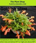 Goldfish plant cutting: Terrarium / Vivarium / Paludarium / house plant
