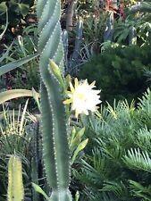 Cereus Peruvianus Spiralis #2012