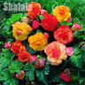 50pcs Double Bonsai Begonia Seed Rare Beautiful Flower Garden Decor Potted Plant