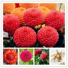 2pcs Red Dahlia Bulbs Flower,(Not Dahlia Seeds),Bonsai Flower Bulbs
