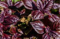 Roter Hammerstrauch • 10 Samen//seeds • Cestrum fasciculatum • Dauerblüher • Duft
