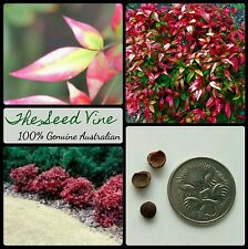 10+ SACRED BAMBOO SEEDS (Nandina domestica) Popular Hedge Red Shrub Landscape