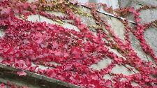 Virginia Enredadera-parthenosisus quinquifolia 20sds 99p