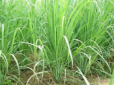 Lemongrass Citronela ( Hierba Limon ) cymbopogon flexuosus 355 semillas  seeds