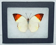 """Real Framed Butterfly- Hebomoia Glaucippe """"Great Orange Tip"""" in Riker Mount ."""