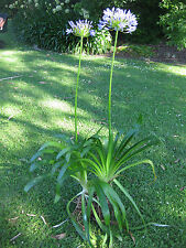 AGAPANTHUS PLANTS - Large Mature Blue plants in clumps of 1-2 bulbs