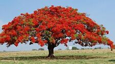 Delonix regia  (Royal Poinciana, Flame Tree, Flamboyant Tree)