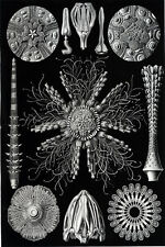 Ernst Haeckel Art Forms of Nature Sea Anenome Starfish Molluscs Shells 18x24 new