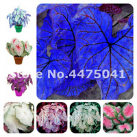 50 PCS Seeds Thailand Caladium Bonsai Bicolor Rare Flowers Perennial Plants 2019