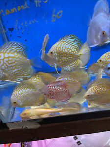 Yellow  Pigeon  Discus 4 Inch Tropical Live Fish