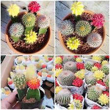 10 Teile / beutel Mischfarbe Seltene Sukkulente Sukkulenten Kaktus Samen-Lithop