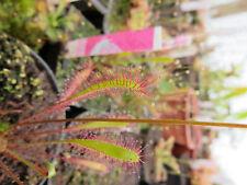 Drosera anglica Hawaii (Alakai Swamp) 10 fresh seeds tropical carnivorous plant