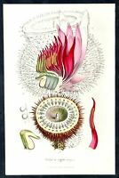 Victoria amazonica Guyana flowers Blume Botanik botany van Houtte Lithographie