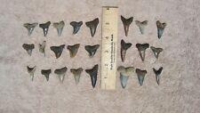 Huge Lot of Fossil Shark teeth