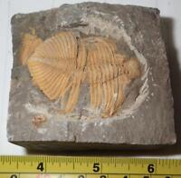 Fossil Golden Trilobite Coronocephalus jastrowi on Matrix Rock 49x38 mm 246.3 g