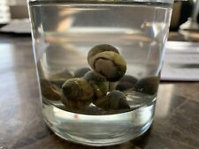 100 Live Saltwater Periwinkle Snail For Aquarium Fish Tank Filter Algae Detritus