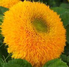 Flower Seeds Decorative Sunflower Makhrovyy Helianthus annuus Annual