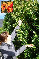 Erdbeerbaum Stecklinge winterhart immergrün Blüten & Früchte sogar im Winter !