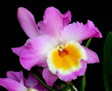 OrchidDendrobium nobile Wave King Akebono 12, new growth, 10 inches