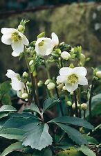 LIVE winter flowering plant Helleborus broadleaf evergreen (-34.9C (-30F))