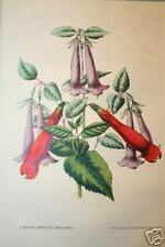 Lovely Antique Botanical Print ~ 1800's  Matted