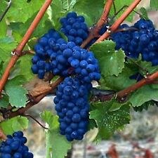 extra ferstile : Blue Globe Grapes - 8 Cuttings free shipping