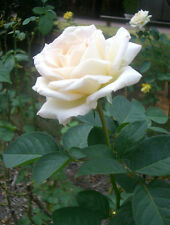Live White Rose Plant White Rose Grafted Flower Plant