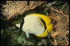 307091 Forrado peces mariposa bajo marrón gorgonias Mar Ventilador A4 Foto Impresión