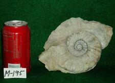 "Large Size, Rare 7-3/4"" Texas Fossil Ammonite ,Dinosaur Age, Cretaceous-M195"