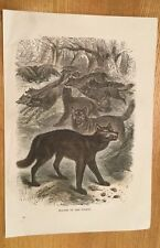 c1880 - Wolves Of The Forest - Coloured Engraving.