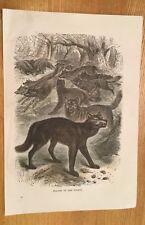 C1880-loups de la forêt-couleur gravure.