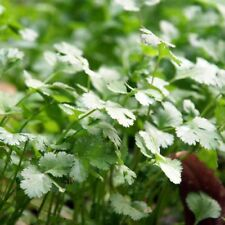 Garden Coriander Seed Organic Herb Fragrant plant  For potted and food