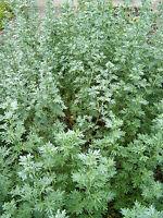 2000+ Samen Artemisia absinthium - Echter Wermut