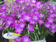 graines de fleurs Agrostemma  - graines fleurs - Agrostemma - 1 gramme