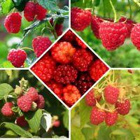 Rubus idaeus Fresh seeds Wild Red Raspberry 25 framboise sauvage