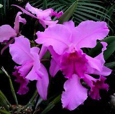New listing Rare Cattleya Orchids - C Kitty Wren (Fabia x gaskelliana)