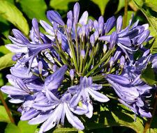 LILY OF THE NILE Agapanthus Headbourne Hybrids - 20 Bulk Seeds