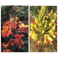Caesalpinia Desert Seed Lot/12 Pulcherrima Red Bird of Paradise Gilliesii Yellow