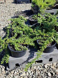 NATIVE GROUND COVER myoporum parvifolium BROAD leaf   Berrigans road nursery