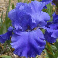 Tall Bearded Iris (4) Bulbs - Purple