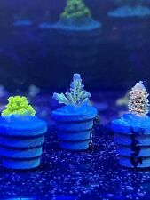 New listing Acro, Acropora, Sps Ckaf Presents Panama Red, Sunset Milli, and The Hulk