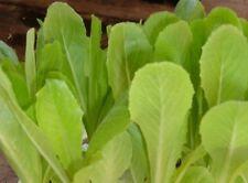 2g (app.1700) heritage Italian lettuce seeds BIONDA A FOGLIA LISCIA lambs tongue